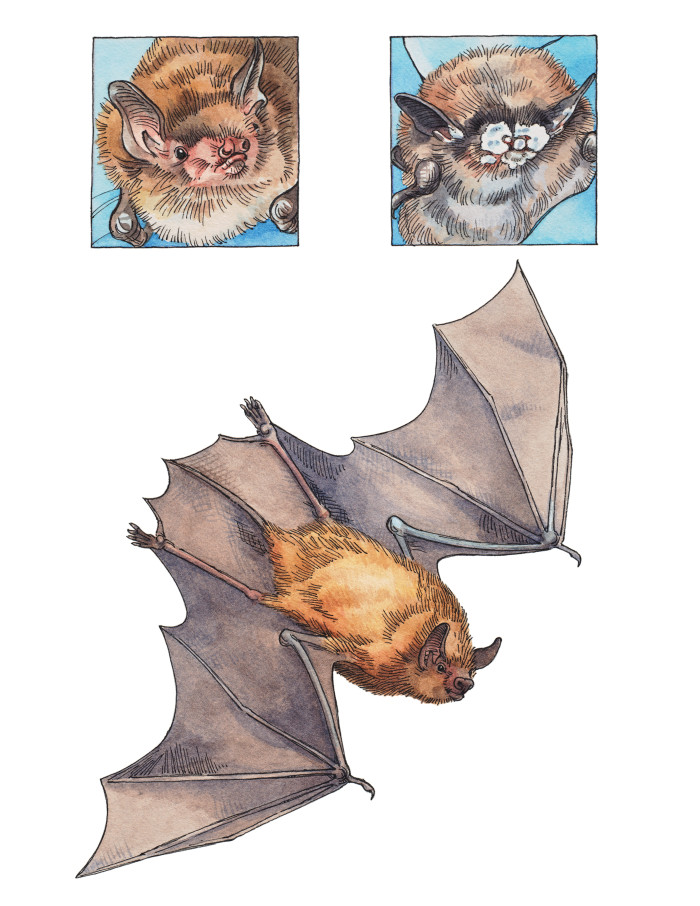 Bat, white-nose syndrome