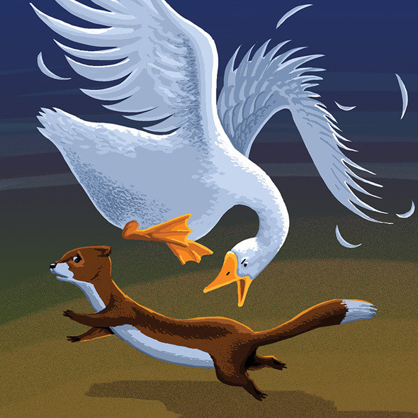 White farm goose chases a weasel