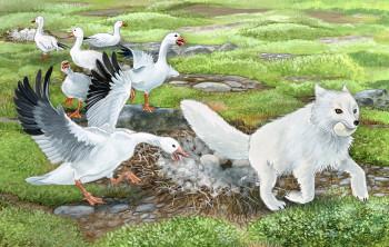 Arctic Fox Steals Snow Geese Eggs